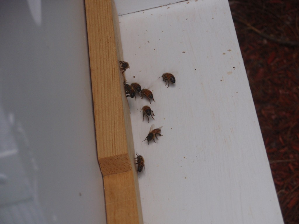 Scenting bees - I originally thought they were trying to cool off the hive, but they are releasing pheromones so young bees can find the hive again after a flight.