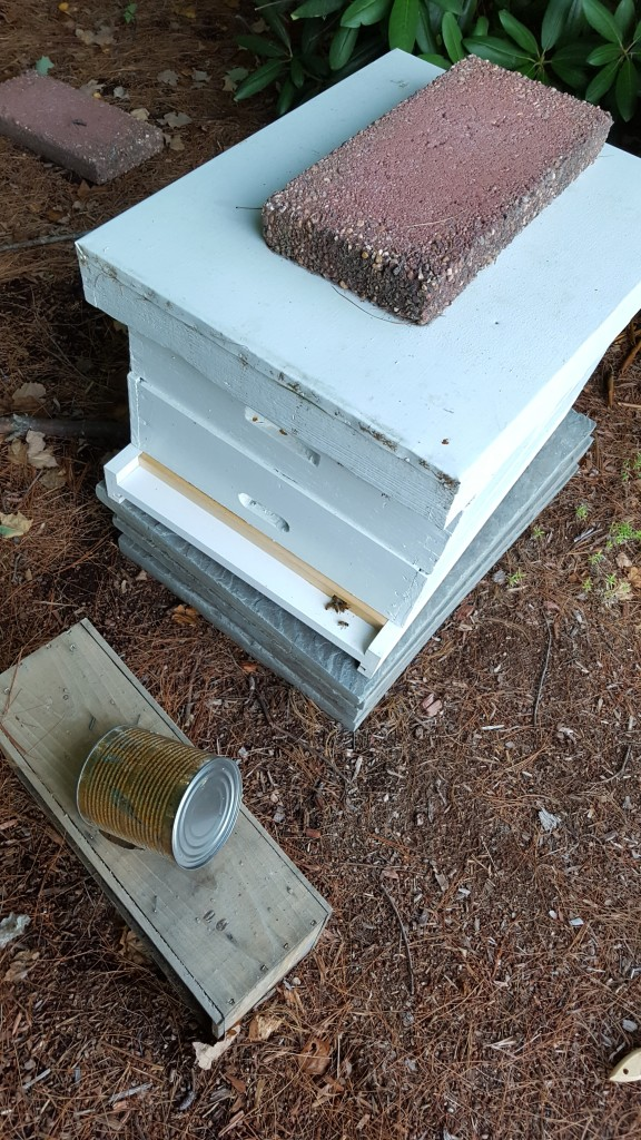 Renee's hive - steady stream of bees at the entrance reducer (I removed this when I left).